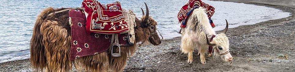 Trekking mit Yaks